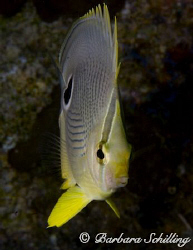Butterflyfish on the slim side! by Barbara Schilling 